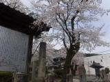 公徳園の桜