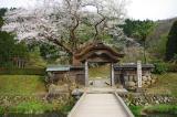 朝倉遺跡の桜